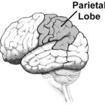 Brain Parietal lobe