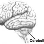 Brain cerebellum 2
