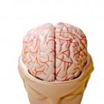 Brain model open