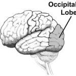 Brain occupital lobe
