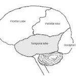 Brian temporal lobe 1